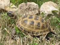 Russian tortoise Sheila