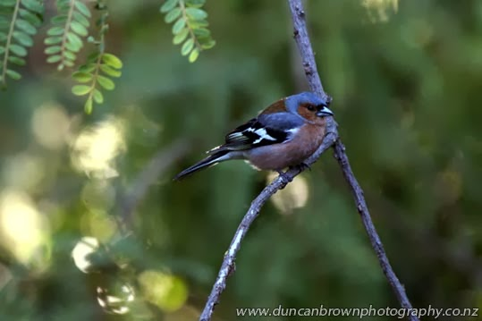A chirpy male chaffinch photograph