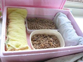 自製納豆-用保麗龍箱保溫