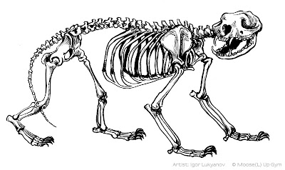 honey badger skeleton, skull