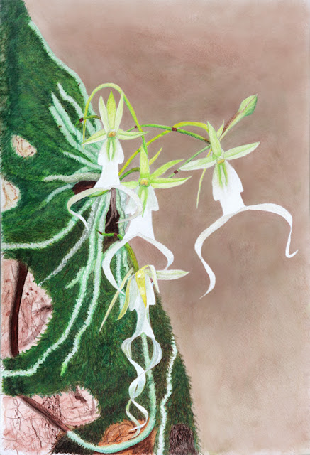 Ghost Orchid Watercolor Painting (Dendrophylax lindenii)