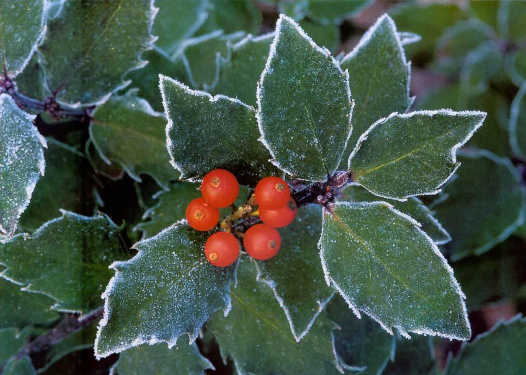 Christmas Backgrounds: Christmas Holly Background