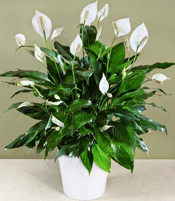 Bunga Peace Lily
