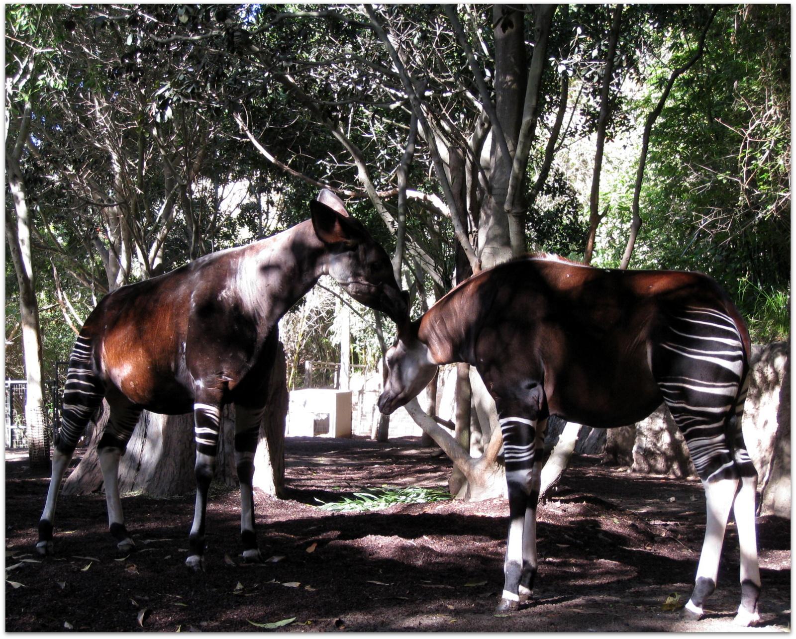 Murrieta 365: Okapi