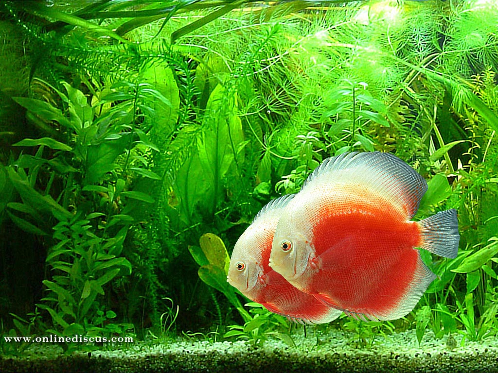 Fish Species n.3 - Discus (Symphysodon discus) - Feast Your Eyes