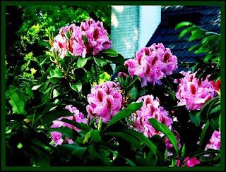 http://tipspetani.blogspot.com/2014/12/bunga-indah-tetapi-menyimpan-bahaya.html