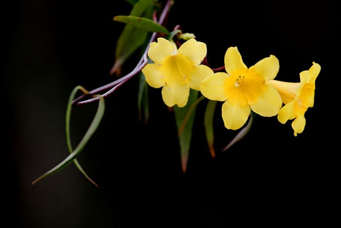 Yellow jasmine flowers pictures flower wallpaper many types of jasmine that has been identified there is at least 200 species are already known and recorded but these types are categorized as actual mightylinksfo