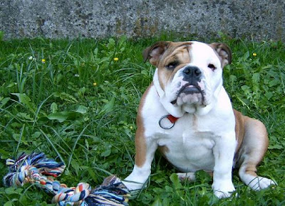 Miniature English Bulldogs Pictures
