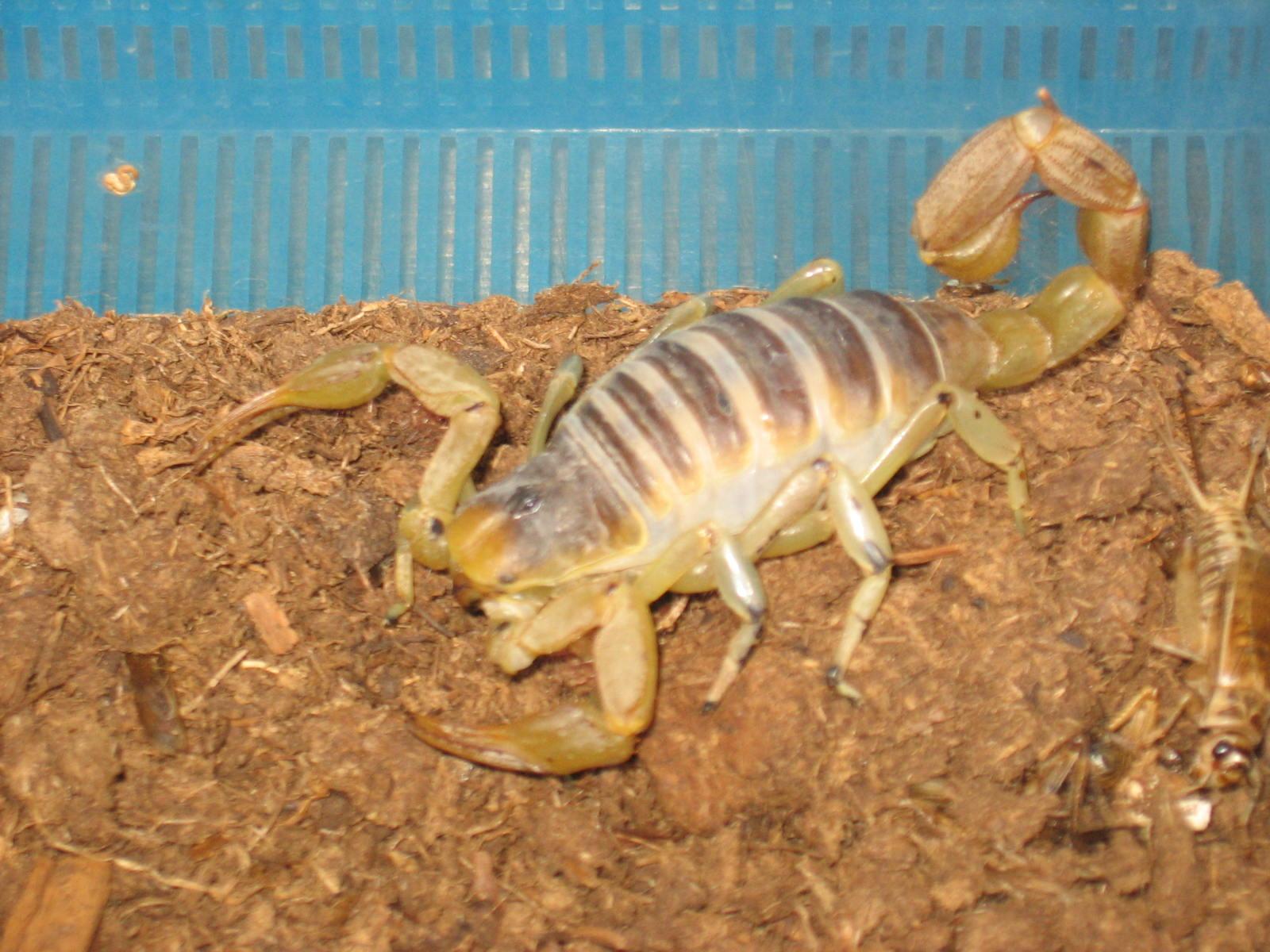 King scorpion animal - photo#9