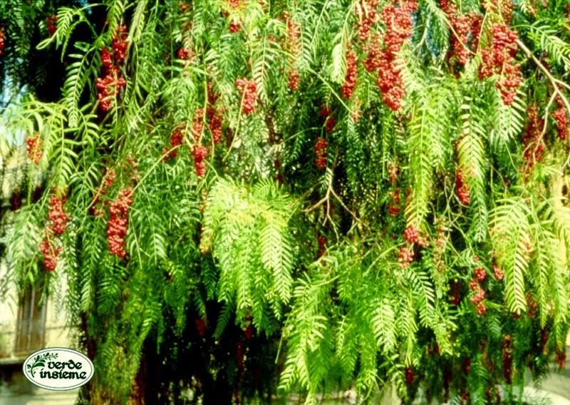 Schinus molle l 39 albero del pepe rosa for Pianta ornamentale con fiori a grappolo profumatissimi