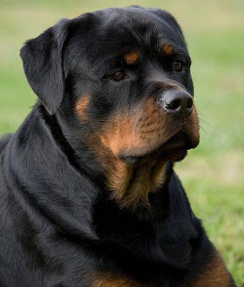 most registered breeds by American Kennel Club
