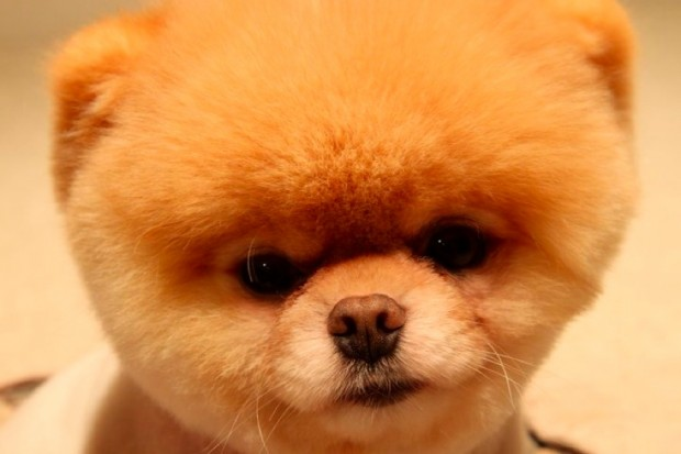 The World's Cutest Dog Boo high quality wallpaper
