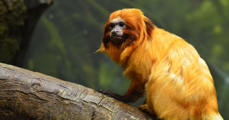 golden lion tamarin reintroduction program essay Golden lion tamarin golden lion tamarins have and about 30% of these were either relocated from depleted areas or released as part of a reintroduction.