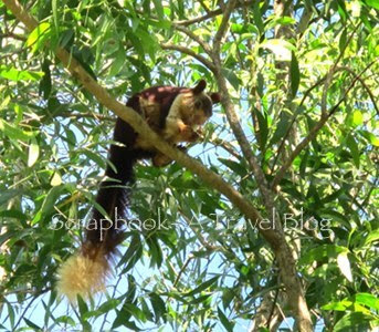 Malabar Giant Squirrel at Dandeli Wildlife Sanctuary