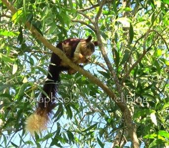 Malabar Giant Squirrel at Dandeli Wildlife Sanctuary