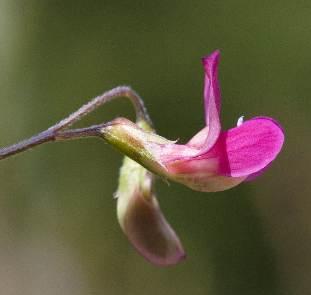 Flower of the grass vetchling, Lathyrus nissolia. Darrick Wood meadow, 22 May 2011.