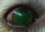 Cat Eye Ulcer Natural Treatment