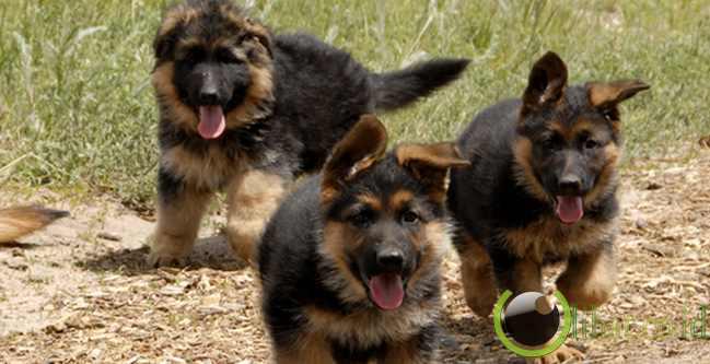 Anjing penjaga Jerman (German Sheperd)