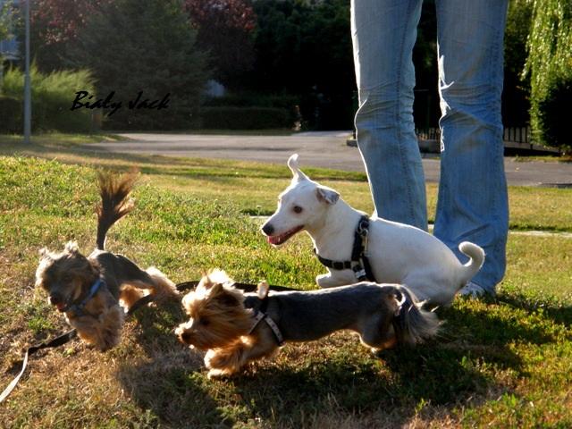 przyjaciele, biały jack russell terrier