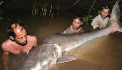 Ikan Lele Raksasa