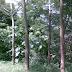 Macam-Macam Pohon Sengon
