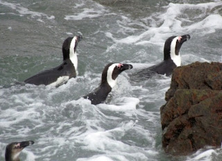 penguins avoid incoming waves as they return from feeding out at sea
