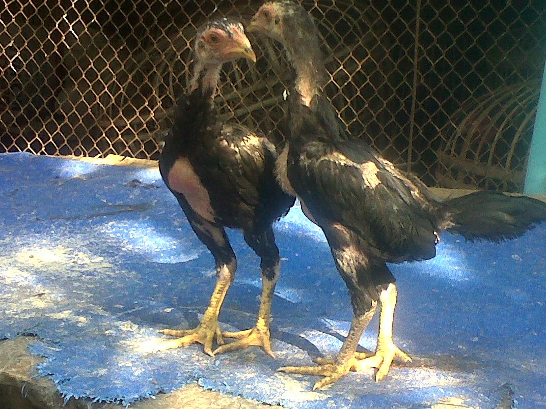Ternak Ayam Bangkok Berkwalitas ( Dari Pacekan F1 )