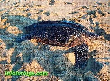 Dermochelys coriacea - Tortuga laúd