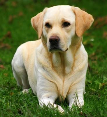 Labrador Retriever Pictures