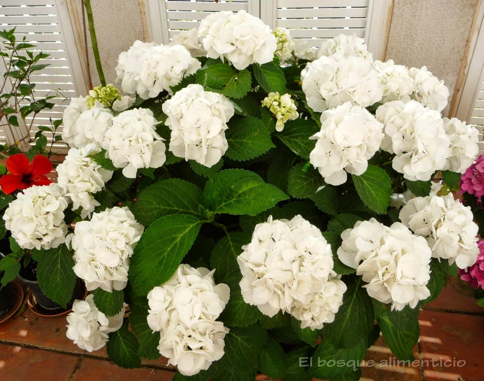Cuidados De Una Hortensia Cheap Best Cuidado De Las Hortensias With