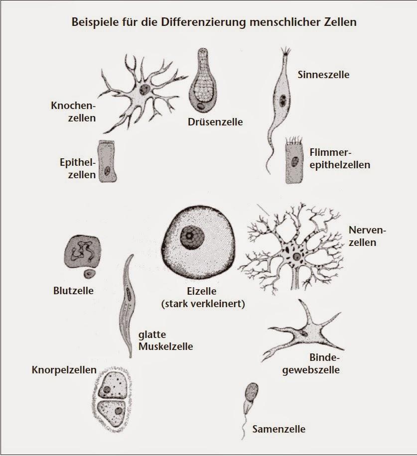 Anatomie: Zytologie und Histologie - Zelle
