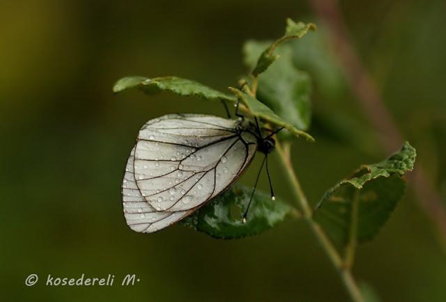 alıç kelebeği ve damlalar
