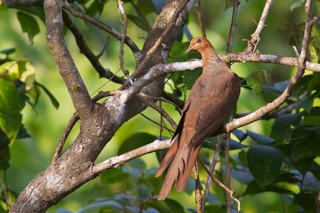 Andaman Cuckoo Dove