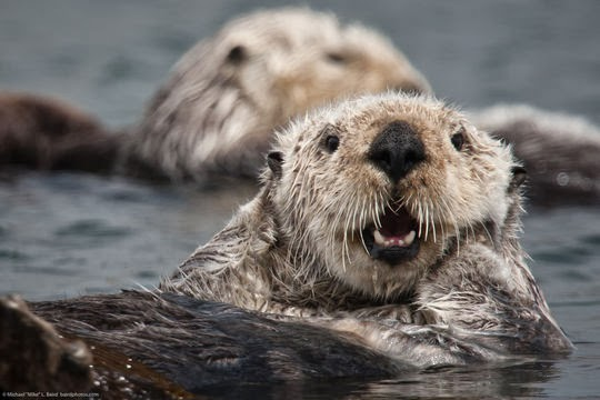 sea otter with gorgeous fur