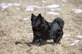 zweedse lappenhond pups