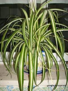 Todo sobre plantas plantas de interior la cinta - Cinta planta ...