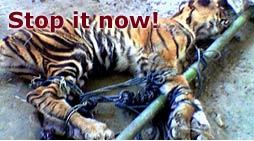 Tigru mort