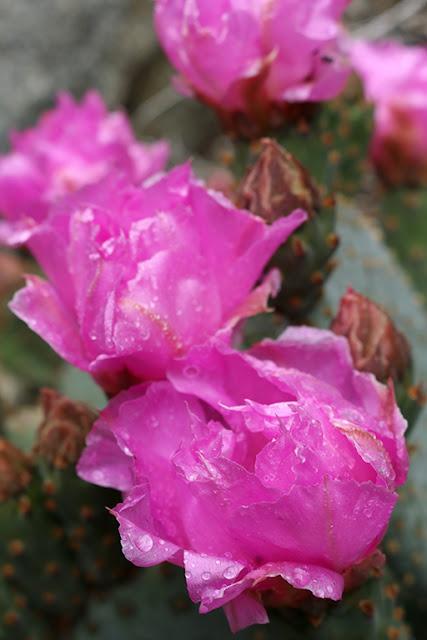 Beavertail Blooms