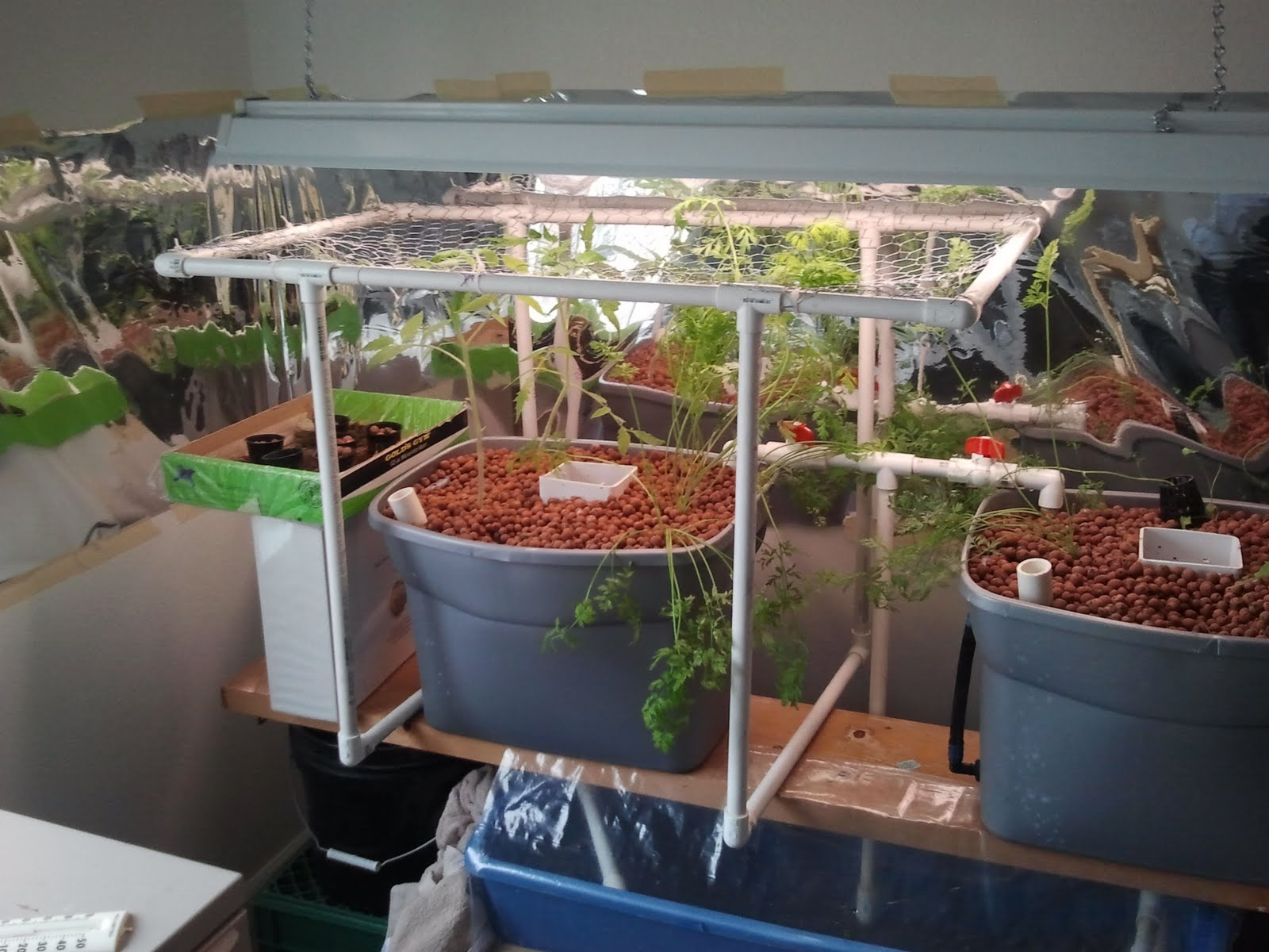 Aquaponics scrog added for tomatoes for Cultiver cannabis exterieur