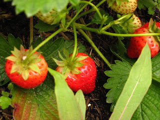 Close up of strawberry plant in garden