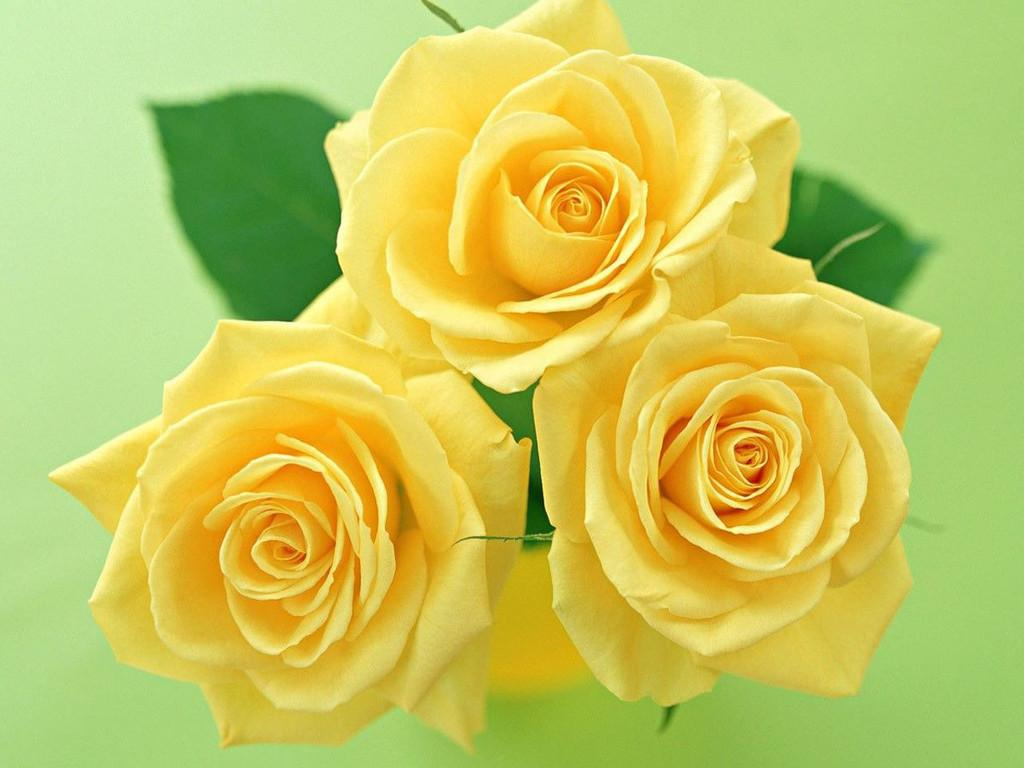 Beauty flower yellow rose collection of beautiful flowers 2013 nature of yellow flowers yellow rose collection 2013 flowers wallpapers images of beautiful flowers path of yellow rose mightylinksfo