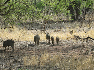 Herd of Wild boar.