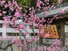 鎌倉宮のカワヅザクラ