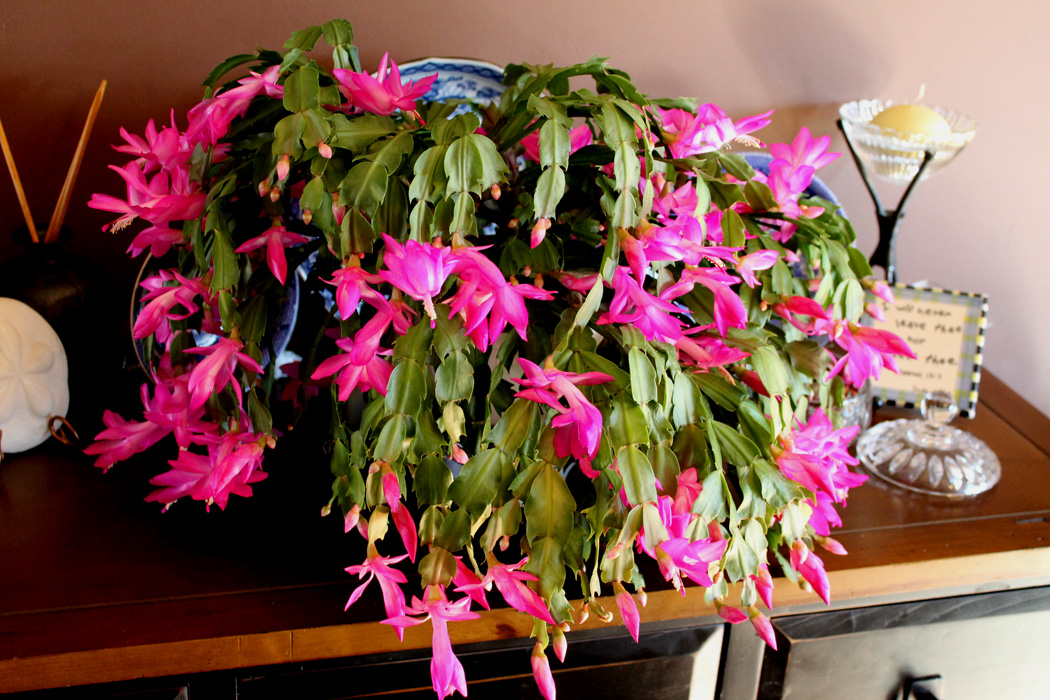 my christmas cactus always blooms at thanksgiving - How To Make A Christmas Cactus Bloom