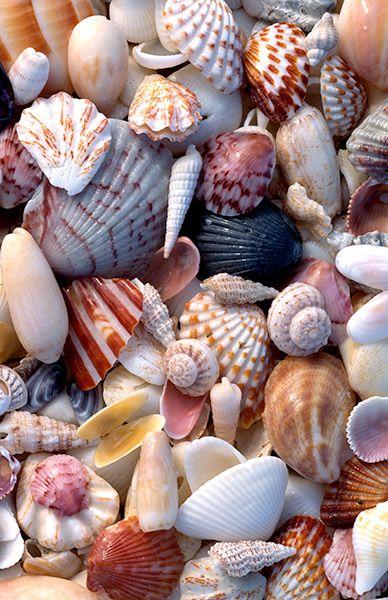 La Magia De La Conchas Tilias Blog - Fotos-de-conchas-de-mar