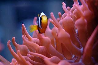 ocellaris clownfish habitat