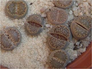 L. hallii  salicola reticulata grey form C087a