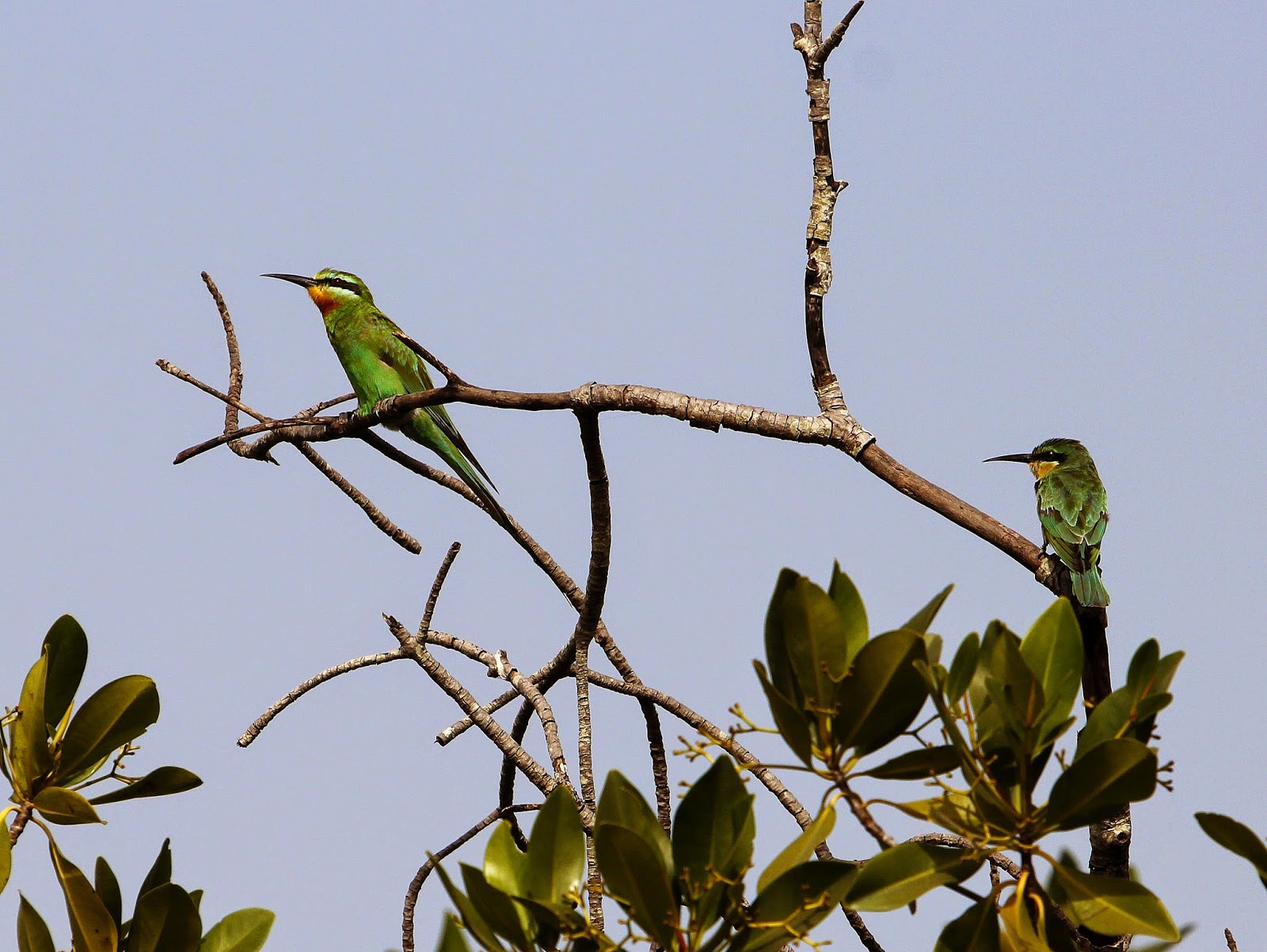 Blue-cheeked Bee Eaters near the Lamin Lodge; The Gambia
