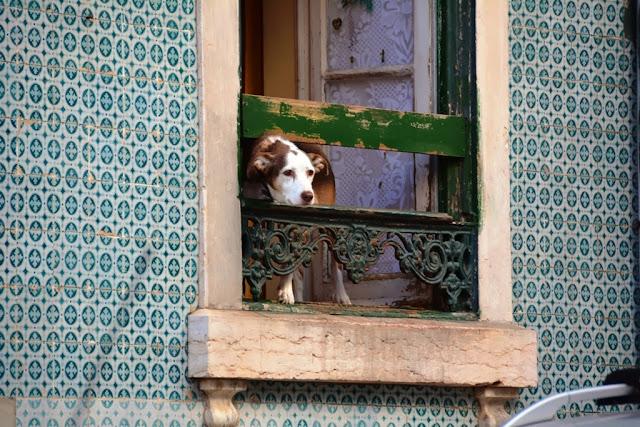 General Impressions of Lisbon dog