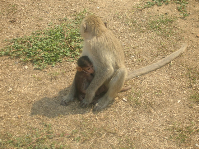 Lop Buri, thailandia, scimmie